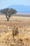 Two Cheetahs. Remain watchful while resting Royalty Free Stock Photography