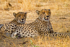 Two cheetahs resting on the plains in Hwange Nationa; Park Royalty Free Stock Photos