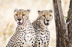 Two cheetahs rests after meal in Serengeti. African cheetah looking for enemies at the Savannah in Serengeti, Tanzania Royalty Free Stock Photography