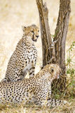 Two cheetahs rests after meal in Serengeti Royalty Free Stock Photos