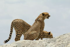 Two cheetahs on a rock. In the savannah. One sitting and looking around, the other drinking Stock Photography
