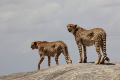 Two cheetahs on a rock Stock Photos