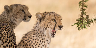 Two cheetahs in the shadow Royalty Free Stock Images