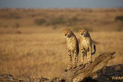 Two cheetahs sitting Royalty Free Stock Photography