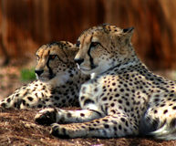 Two cheetahs staring Stock Photos