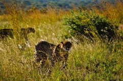 Cheetahs walking in South Africa royalty free stock photography