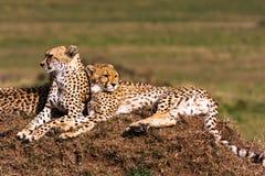 Two cheetahs is watching the savanna. Hills of Masai Mara Royalty Free Stock Photos