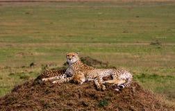 Two cheetahs is watching the savanna. Hills of Masai Mara Royalty Free Stock Image