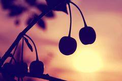 Two cherries on a branch against summer sunset sky stock images