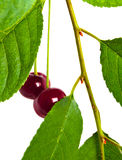 Two cherries on the branches among the leaves Royalty Free Stock Images