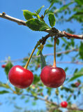 Two cherries on the twig royalty free stock images