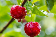 Two cherries with water drops Royalty Free Stock Photos