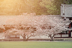 Two cherry blossom sakura trees in the japanese garden with morning light Royalty Free Stock Photo