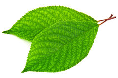 Two cherry leaves Stock Photos