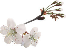 Two cherry tree blooms and buds on white. Illustration with spring tree blooms isolated on white background Royalty Free Stock Photos