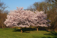 Two cherry trees in pink blossom. Stock Photo