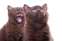 Two chestnut British kittens Royalty Free Stock Photo