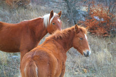 Two chestnut horses Stock Photos