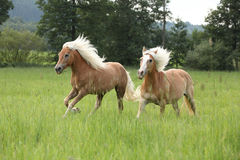 Two chestnut horses with blond mane running in nature Royalty Free Stock Image