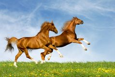 Two chestnut horses gallops. On a green field Royalty Free Stock Image