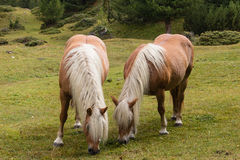 Two chestnut horses grazing Stock Photos