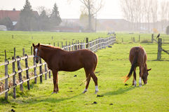 Two chestnut horses in a green paddock. Two chestnut horses grazing in a green paddock on a farm or ranch with a neat post and rail wooden fence in a rural field Stock Photo