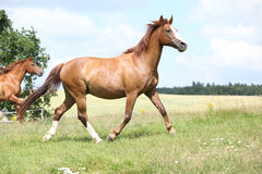 Two chestnut horses running together Royalty Free Stock Photo