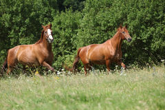 Two chestnut horses running together Royalty Free Stock Photos