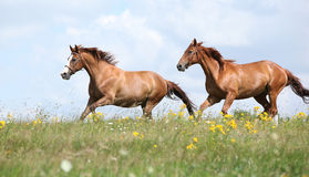 Two chestnut horses running together. On meadow Royalty Free Stock Photography