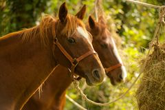 Two chestnut horses in trees eating hay Stock Photography