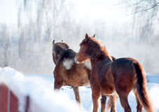 Two chestnut horses in winter paddock Stock Photography
