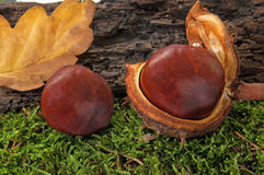 Two chestnut Royalty Free Stock Image