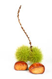 Two chestnuts Stock Photo