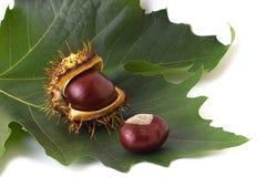 Two chestnuts on the leaf. Two chestnuts on the green leaf Stock Images