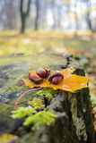 Two chestnuts Stock Image