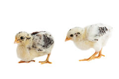 Two Chick East Frisian Gull. A Portrait of two Chick of Race East Frisian Gull, isolated Stock Images