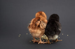Two chick friend who found millet Stock Images