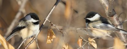Two chickadee during fall stock photos