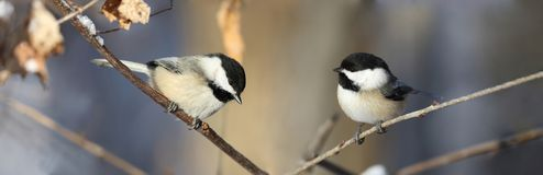 Two chickadee in forest stock photos