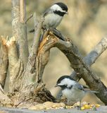 Two Chickadees Stock Image