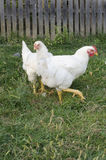 Two chicken Royalty Free Stock Photo