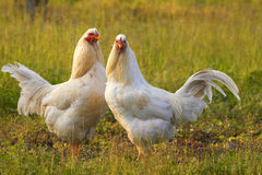 Two chicken. Two white chicken in early spring Stock Photography