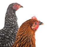 Two chicken detail Royalty Free Stock Image