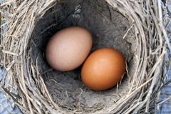 Two chicken eggs lying in a real bird nest. Two brown chicken eggs lying in a real bird nest royalty free stock image