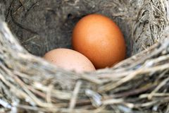 Two chicken eggs lying in a real bird nest. Two brown chicken eggs lying in a real bird nest royalty free stock photos
