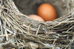 Two chicken eggs lying in a real bird nest. Two brown chicken eggs lying in a real bird nest royalty free stock images