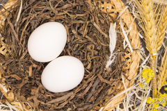 Two chicken eggs in a nest. Chicken feather. Stock Images