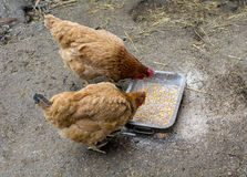 Two chicken feeding on the ground Royalty Free Stock Image