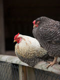 Two chicken on fence Stock Photos