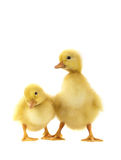 Two chicken gooses Stock Photography